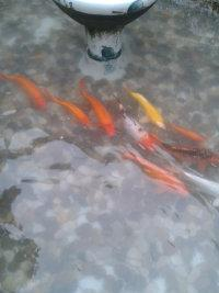 蘇州市專業魚池水發綠發臭,發黃,假山噴泉安裝,魚池凈化青苔。