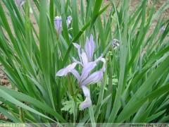 【马兰价格】马兰批发种植基地,宿根花卉