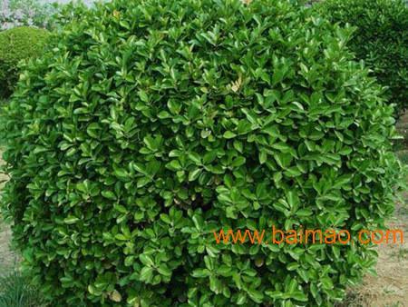 青州大叶黄杨球undefined,品种好的绿化用月季