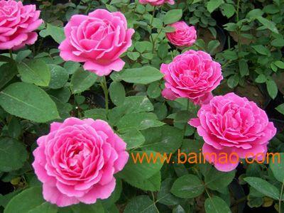 山西月季花,忻州大花月季,晋城月季批发价格低