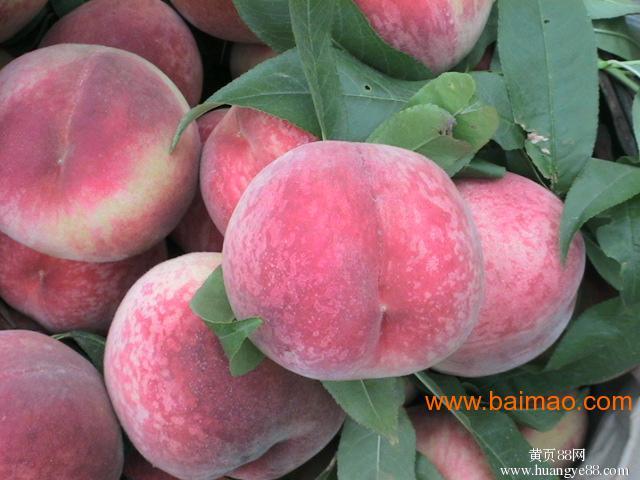 滨州七月鲜桃_实惠的七月鲜桃就在大丰收苗木场图片