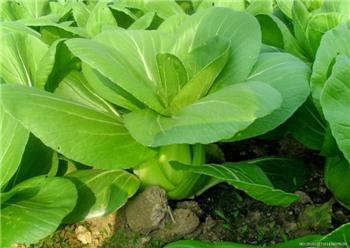 綠色有機蔬菜供應