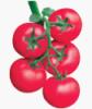 西紅柿種子供應廠家 早熟抗病高產西紅柿種子 的西紅柿種子介紹