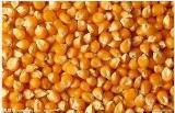 现款求购:玉米、小麦、大麦