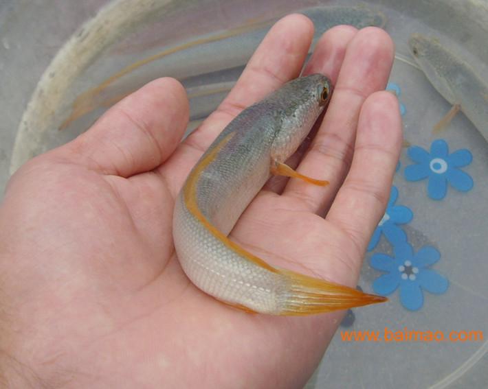 鱼苗孵化视频_2012/03/07 产品描述: 供应白乌鱼(鱼苗,亲鱼),提供养殖,人工繁殖孵化