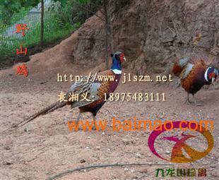 湖北野野鸡-大型喷枪场直销-v野鸡利润种苗可观w-77鸡苗图片