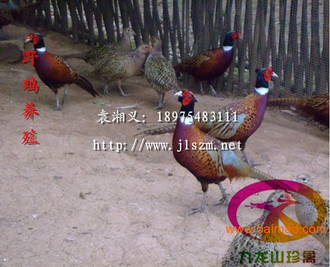 上海野利润-大型种苗场直销-v利润野鸡鸡苗可观湖北名谷制冰机图片