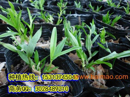 中华仙草铁皮石斛的价格是多少图片