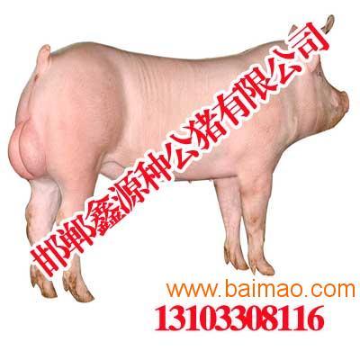 安阳种猪大白|安阳种猪公猪|鑫源种视频,安徐晓东mmav种猪大白图片