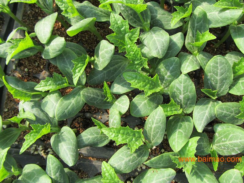 丝瓜种苗新品种