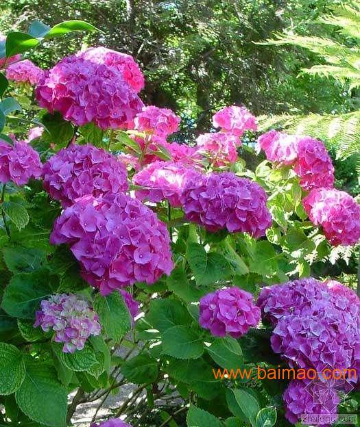 绣球花、绣球花价格、绣球花种植批发基地