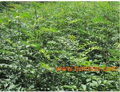 种子,2公分大樱桃树黄栌苗图片