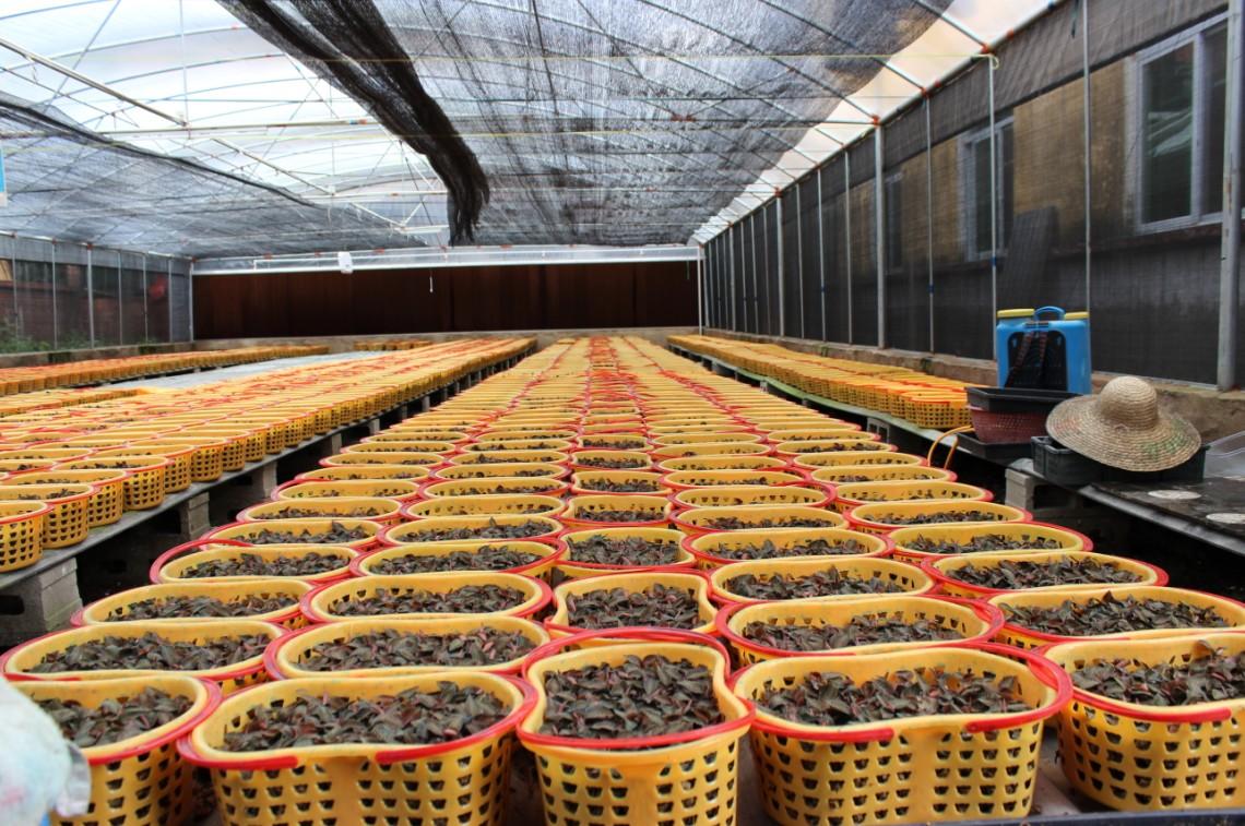 金线莲基地,种植培育中心