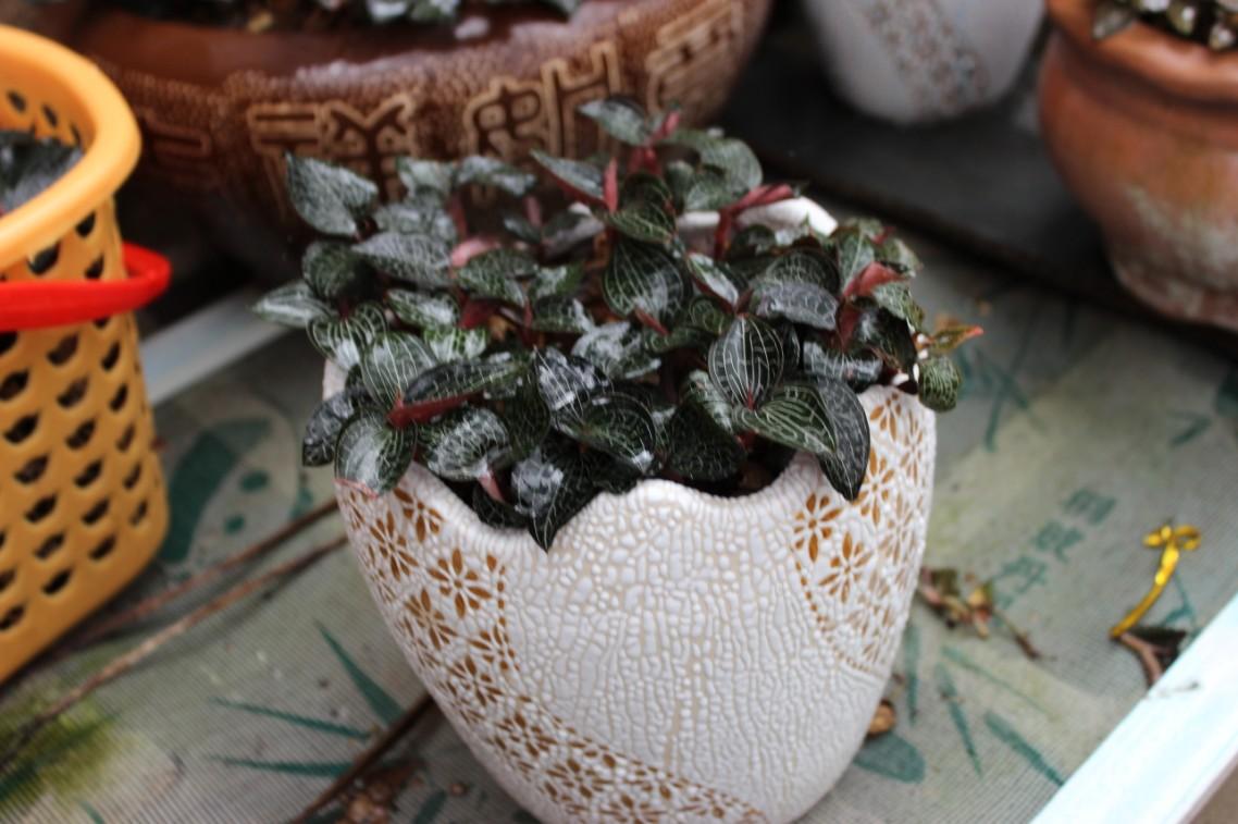 金线莲盆栽供应,具有观赏价值,可食用