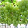 陕西阳光玫瑰葡萄种植产地阳光玫瑰葡萄批发基地葡萄