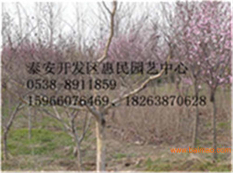山东百日红批发价格 0.5-3公分紫薇小苗
