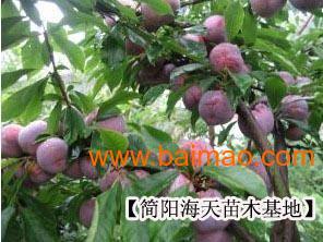 脆红李子树苗,脆红李子树苗生产厂家,脆红李子树苗价格