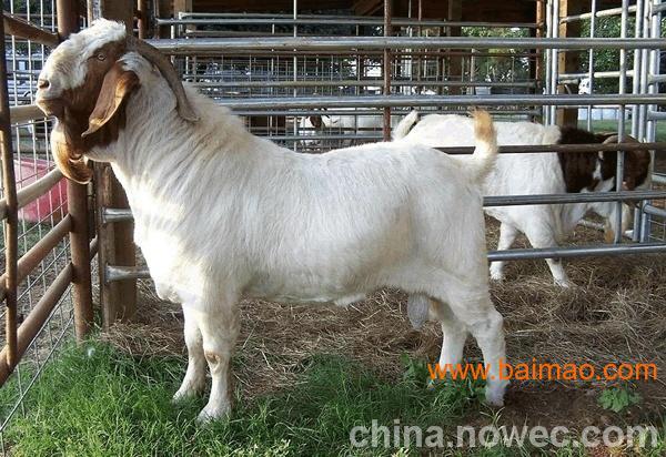 东高科牧业牛羊养殖场批发供应小牛犊,小尾寒羊,波尔山羊,小驴驹