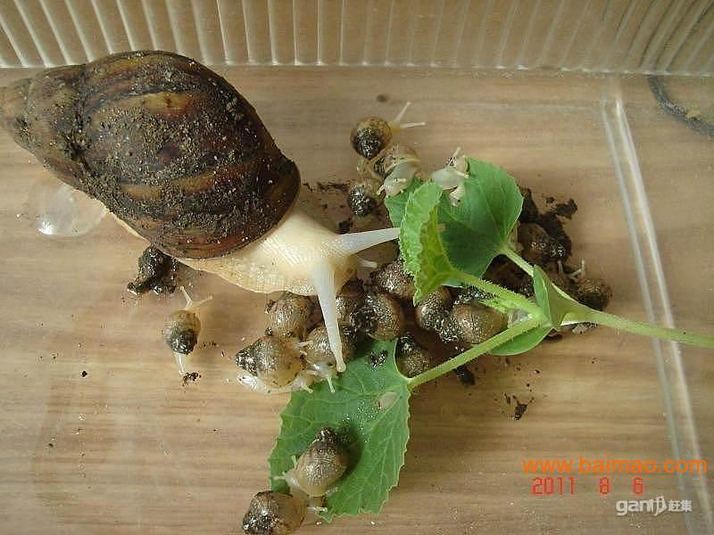 每天卖出100斤白玉蜗牛