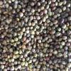 金錢松種子、扁柏種子、杜英種子 、水杉種子、柳杉種