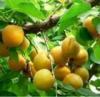 陜西金太陽杏子上市價格豐園紅杏基地凱特杏批發產地