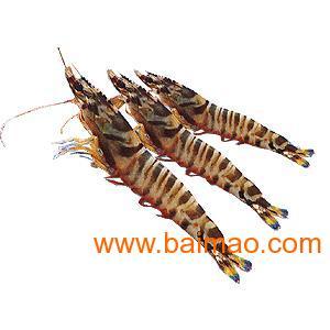 厦门日本对虾(斑节虾)养殖
