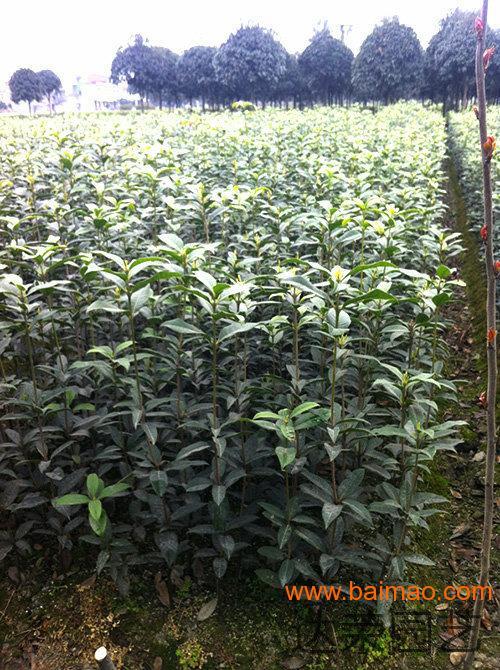 76早花型桂花树的嫁接技术 四川桂花树价格,76早花型桂花树的嫁接