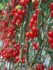 番茄抗根结线虫嫁接砧木